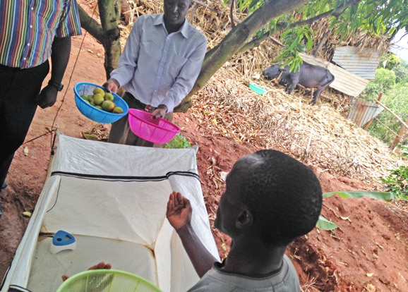 Farmers in Kenya showcase mango storage innovations being piloted through the YieldWise Initiative. (Photo Credit: GKI)