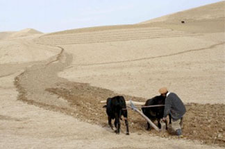 A farmer in Afghanistan plows his field. Afghani agriculture is threatened by climate change, poor soil management, low quality seeds, and poor grain storage.