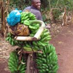 A Ugandan farmer brings his bananas to market. Photo Credit: IFPRI via Creative Commons