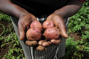 A pair of hands holding potatoes freshly harvested